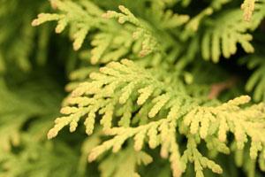 Thuja aurea coniferen