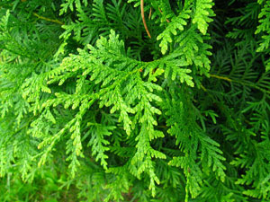 Close up Thuja Brabant Conifeer